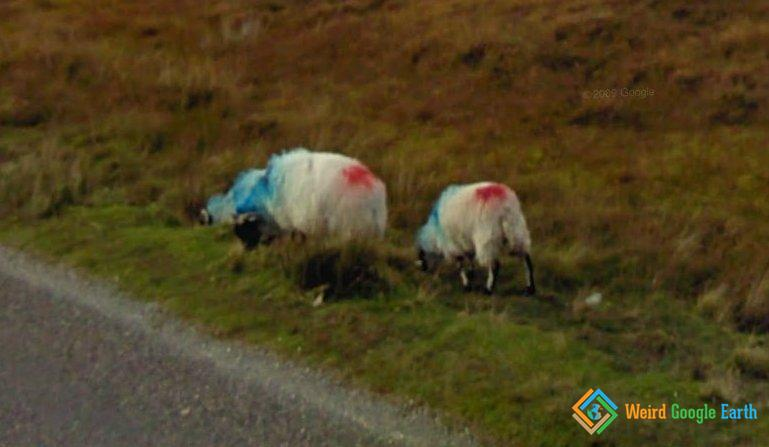 Red and Blue Sheep, Co. Mayo, Ireland