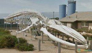A huge whale's skeleton at Seymour Marine Discovery Center in Santa Cruz, California, USA