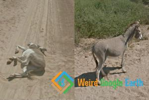 Donkey Undead, Botswana