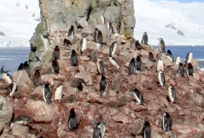 Lots of Penguins near Livingston Island, Antarctica