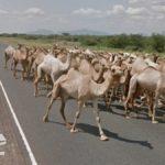 Camel Traffic, Meru County, Kenya
